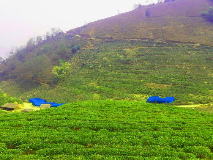 Tea Garden at Bhotechaur